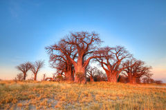 Bainsbaobabs stock afbeelding