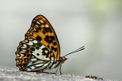 Baiqun macular butterfly in water. Butterfly from the Taiwan (Sephisa daimio) Baiqun macular butterfly in water stock photos