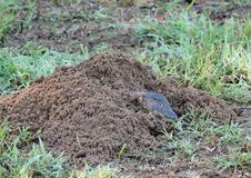Baird's pocket gopher Royalty Free Stock Images