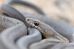 Baird's Ratsnake Royalty Free Stock Images