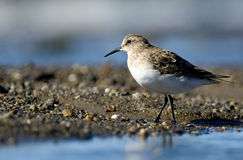 Baird's Sandpiper Stock Photography