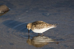 Baird's Sandpiper (Calidris bairdii) Royalty Free Stock Photography