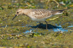 Baird's Sandpiper Royalty Free Stock Photography