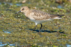 Baird's Sandpiper Royalty Free Stock Images