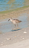 Baird's Sandpiper on shoreline Stock Images