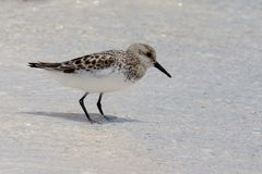Baird's sandpiper. Standing in shallow water on beach on Holbox Island, Mexico Stock Photo