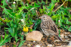 Baird's Sparrow (Ammodramus bairdii) Stock Images