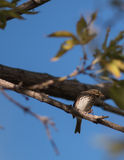 Baird's Sparrow 1 Stock Image