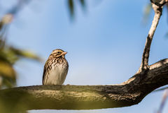 Baird's Sparrow 4 Stock Photos