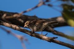 Baird's Sparrow 2 Royalty Free Stock Photography