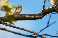 Baird's Sparrow 3 Royalty Free Stock Photo