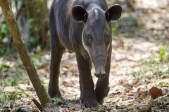 Baird \ 's-tapir arkivbilder