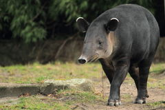 Baird's tapir. The strolling baird´s tapir in the grass stock images