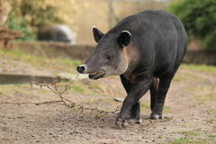 Baird's tapir. The strolling baird´s tapir in the soil royalty free stock image