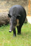 Baird's tapir. The Baird's tapir apprroaching in the grass stock photo