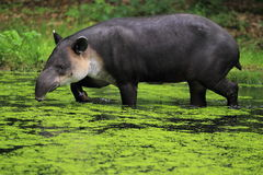 Baird's tapir. The adult baird's tapir strolling in water stock images