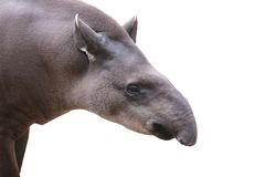 Baird's tapir face closeup shot isolated on white Royalty Free Stock Images
