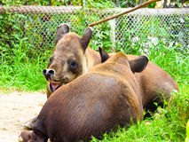 Baird`s tapir resting at Shanghai wild animal park Royalty Free Stock Photography