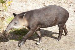 Baird's tapir (Tapirus bairdii) Royalty Free Stock Image