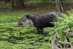 Baird's tapir Stock Photos