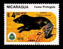 Baird \ 's-tapir (Tapirusbairdii) - vuxen människa och tonåring, serie, cir arkivbild