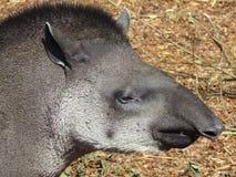 Baird ` s tapira portret Zdjęcia Stock