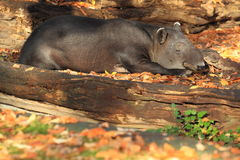 Baird tapir Stock Photos