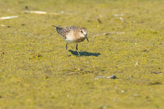 Baird's Sandpiper Royalty Free Stock Photo