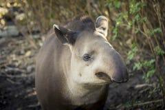 Bairdii del tapirus del tapiro di Baird fotografia stock