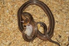 Bairds Ratte-Schlange und eine Maus stockfoto