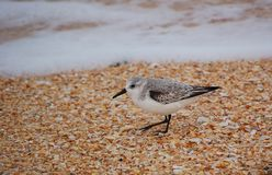 Bairds sandpiper on shell beach Stock Photo