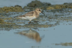 Bairds Sandpiper Stock Images