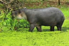 Bairds tapir Arkivbilder