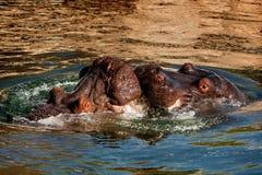 Baiser d'hippopotame Photos stock