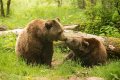Baiser d'ours de Brown Image stock