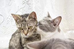 Baiser de chat de l'amour Images libres de droits