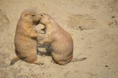 Baiser de chien de prairie Photographie stock libre de droits