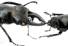 Baiser de coléoptère de mâle Images stock