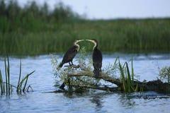 Baiser de Cormorant Photographie stock libre de droits