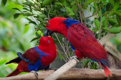 Baiser de deux perroquets - oiseaux d'amour Photographie stock libre de droits
