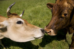 Baiser de deux vaches Photo stock
