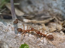 Baiser de fourmi Image libre de droits