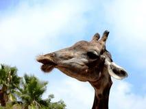 Baiser de girafe Images libres de droits
