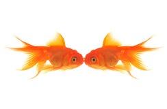 Baiser de Goldfish Photo libre de droits