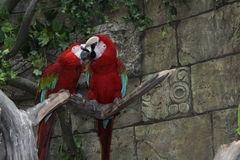 Baiser de perroquets d'arums image libre de droits