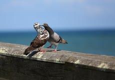 Baiser de pigeon Photos libres de droits