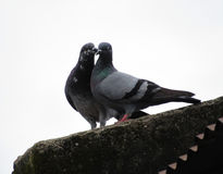 Baiser de pigeons Photos libres de droits