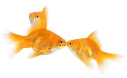 Baiser de poisson rouge Photo libre de droits