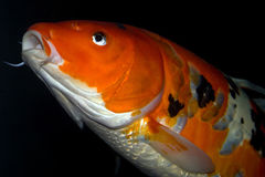Baiser de poissons Photo libre de droits