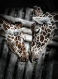 Baiser mignon de ` de girafes Images libres de droits